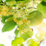 Blooming linden, lime tree in bloom with bees and sunflare - 85357870