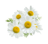 Camomile group isolated on white