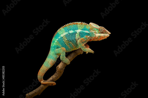 Plexiglas Panter Blue Bar Panther Chameleon isolated on black background