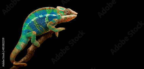 Foto op Aluminium Panter Blue Bar Panther Chameleon isolated on black background
