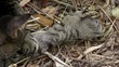 Постер, плакат: Polydactyl cat in Hemingway House six toes on each paw Key West Florida