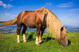 Fototapeta Ritratto di un grande stallone al pascolo