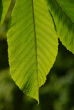One horse chestnut textured green leaf in back lighting on green