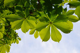 Translucent and green horse chestnut leaves in back lighting on