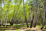 Fototapeta road in the birch forest in the early spring