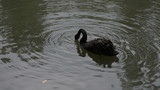 The black swan is a large waterbird, a species of swan, which breeds mainly in the southeast and southwest regions of Australia. poster