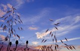 Intense cloudy sky before sunrise, oat plants and seedpods of poppies poster