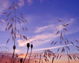Oat plants and seedpods of poppies on intense sky before sunrise poster