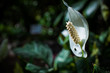 Wild white callas