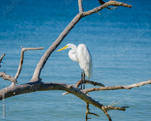 Fotobehang Zwaan Great White Egret on a Branch at the Beach