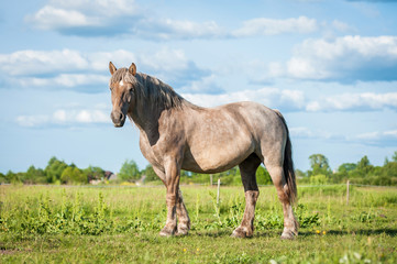 Beautiful horse of unusual color standing on the field in summer