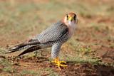Fototapeta Red-necked falcon (Falco chicquera)
