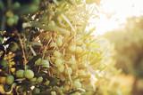 Fototapety Olives on olive tree in autumn