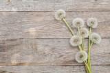 Fototapeta Dandelion flowers on wooden background