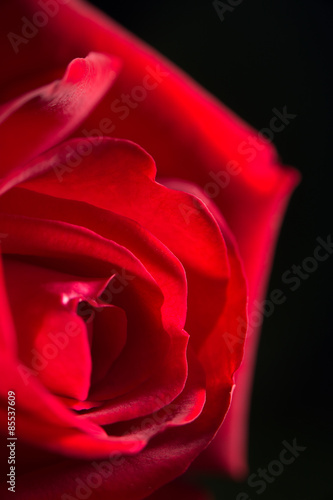 red rose as a background. close