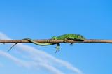 Fotoroleta Green lizard on a branch against the sky