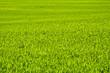 Obrazy na płótnie, fototapety, zdjęcia, fotoobrazy drukowane : Zielone  pole zboża późną wiosną w pogodny dzień.Tło.