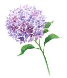 Branch of violet hydrangea