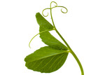 pea leaf with tendril