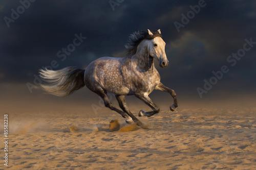 Grey andalusian horse run gallop in desert dust
