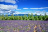 北海道 富良野のラベンダー畑