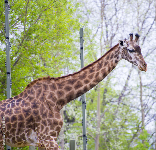 Papiers peints Hyène Giraffe head and neck