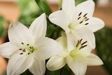 Fotoroleta Lily, White, Flower.