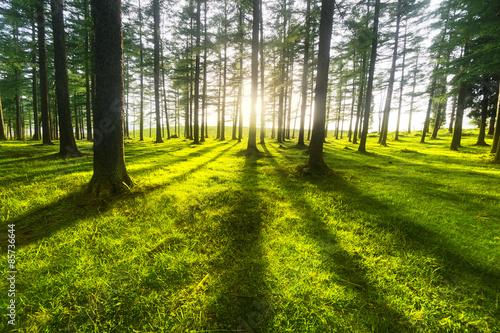 obraz PCV słoneczny las
