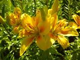 Fotoroleta Желтые лилии