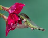 Fototapeta Ruby-throated Hummingbird