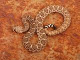 Fotoroleta Western Diamondback Rattlesnake.