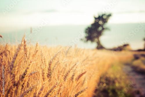 obraz lub plakat Paesaggio di Campi di Campagna e grano al tramonto