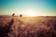 Постер, плакат: Paesaggio di campagna e campi di grano al tramonto