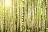 Fototapeta Birch wood in the spring