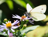 Fototapeta Butterfly and flower in summer nature