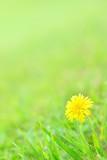 Fototapeta 草原に咲くタンポポ