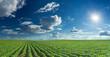 Soybean fields rows in summer season