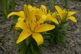 Fotoroleta gelbe Lilie