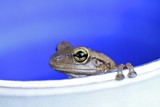 Fotoroleta Frog on a pot