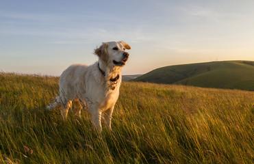 pies szczęśliwy w pole na zachodzie słońca