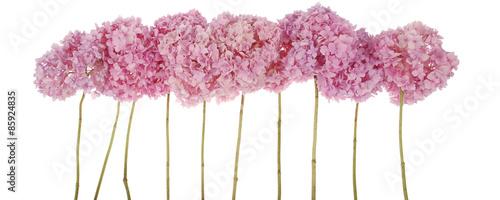 Aluminium Hydrangea Pink flowers hydrangea (Clipping path)