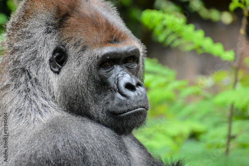 Poster Strong Adult Black Gorilla