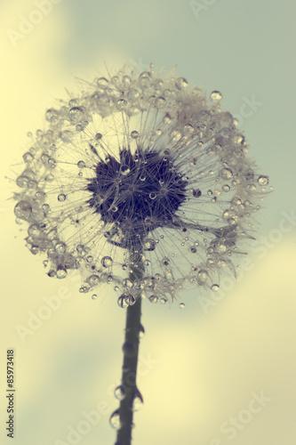 Wet dandelion flower