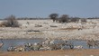 Zebra, springbok and gemsbok antelopes gathering at a waterhole, Etosha National Park, Namibia