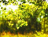 Fototapeta Birch Leaves