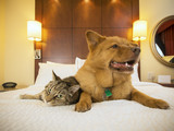 Cat and Dog together in hotel bedroom - 86018850