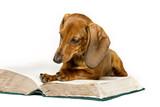 Fototapety Dog Read Book, Animal Education, Smart Dachshund Reading on White