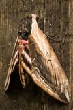 Fototapeta Hawk Moth on wood background close up