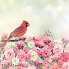 Czerwony kardynał w Rose Garden