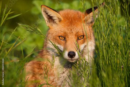 Zdjęcia na płótnie, fototapety na wymiar, obrazy na ścianę : red fox